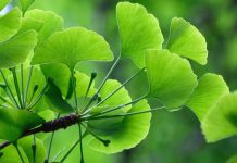 Ginkgo biloba : propriétés et bienfaits
